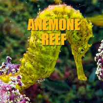 Seahorse at Anemone Reef