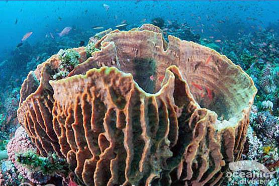shark point barrel sponge phuket