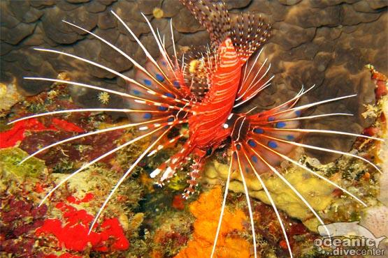 spotfin lionfish koh doc mai phuket