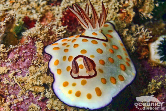 koh doc mai nudibranch phuket