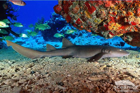 shark point bamboo shark phuket