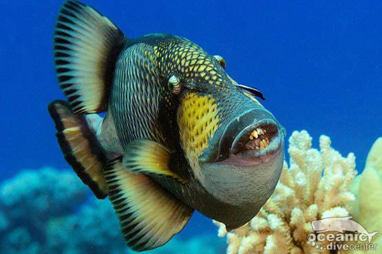 racha yai titan triggerfish phuket