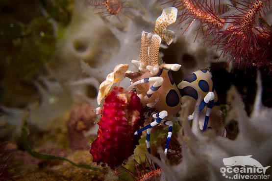 Harlequin Shrimp Scuba Diving Phuket