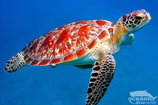 Turtle Scuba Diving Phuket