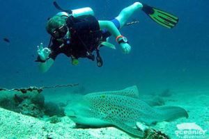 Scuba Phuket Diving with Leopard Sharks