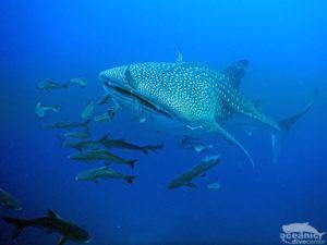 Similan Diving Liveaboard Whaleshark